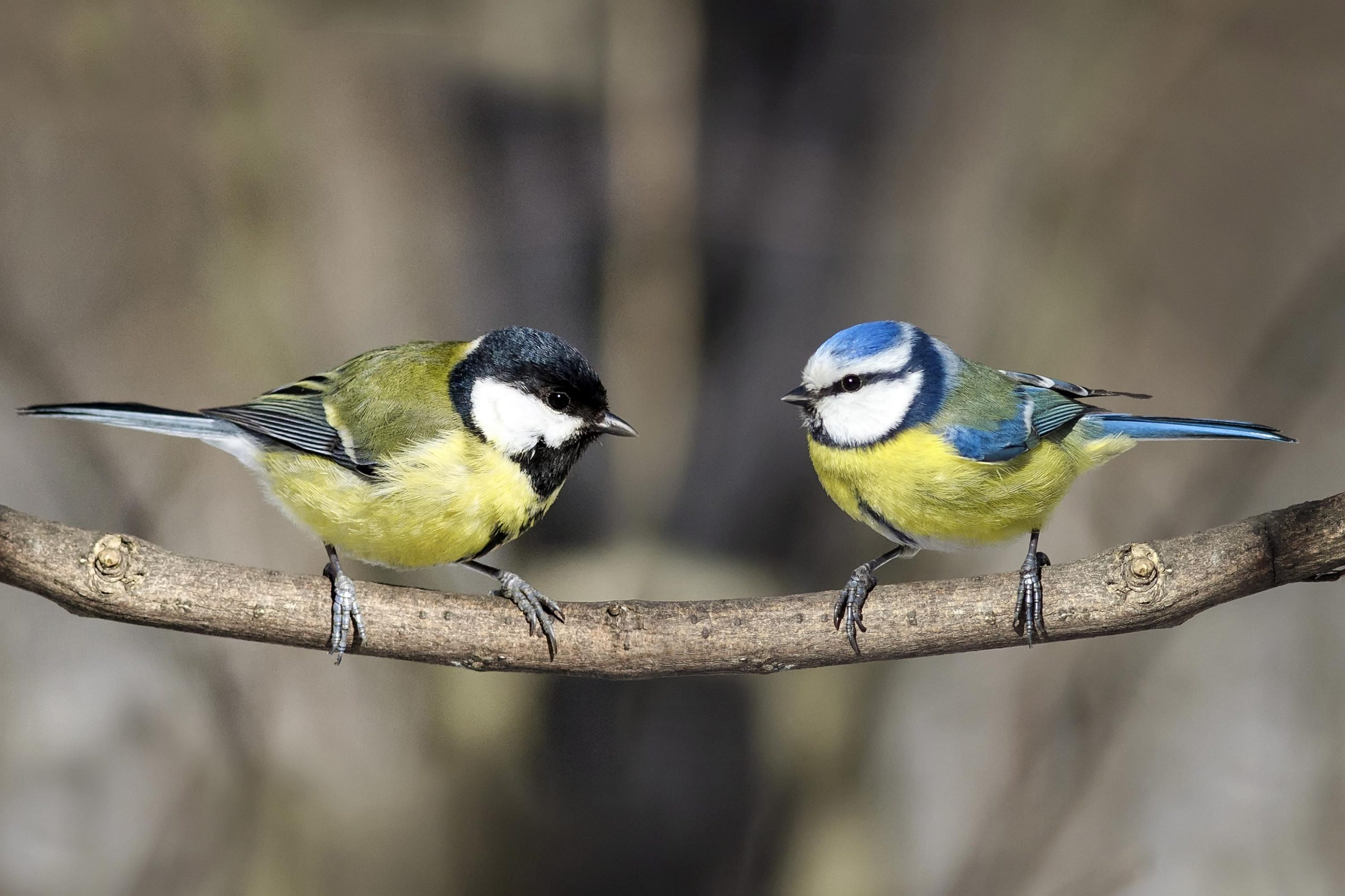 Great Tit Blue and Tit scaled
